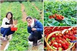 Những địa điểm tham quan và hái dâu tại vườn ở Đà Lạt